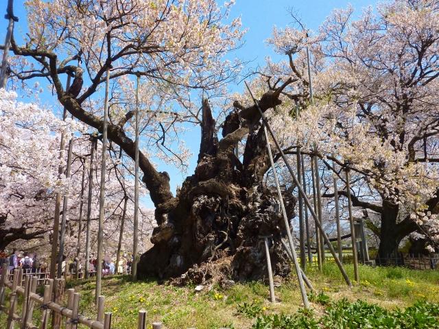 桜の種類,桜の品種,桜の種類の数,桜の開花時期,桜品種図鑑,ソメイヨシノ,自然交配や咲き方,チョウジザクラ群,ヒカンザクラ群,エドヒガンザクラ群,ヤマザクラ群,ミヤマザクラ群,シナミザクラ群,マメザクラ群
