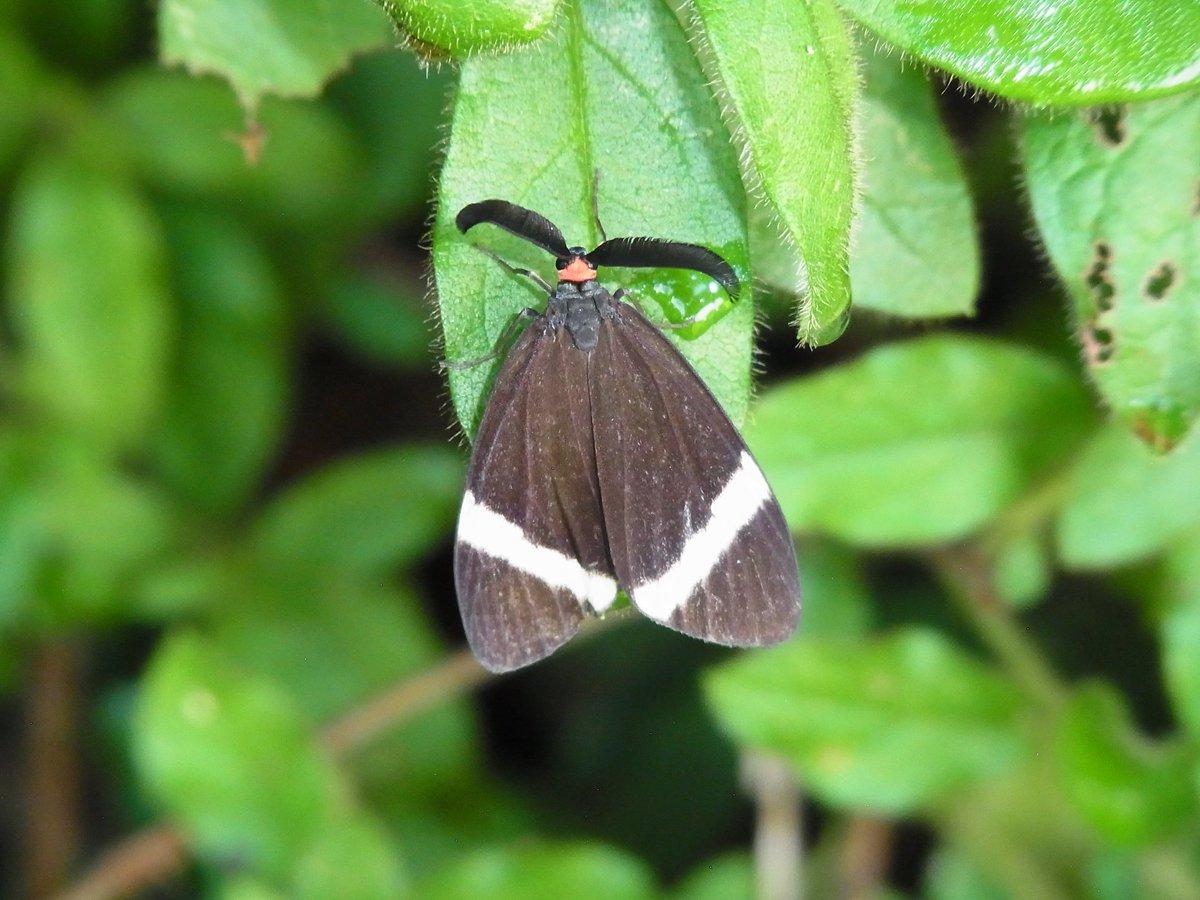 ホタルガはどんな蛾,ホタルガの外見,ホタルガの生態,ホタルガの危険性,ホタルガはホタルに擬態した,ホタルガの駆除方法,ホタルガは美しい