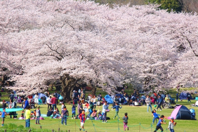 お花見!東京都内の穴場おすすめスポット31選!と見頃な時期
