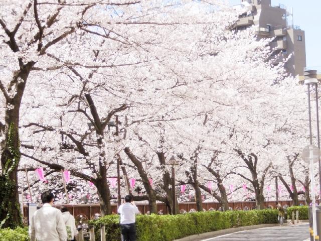 目黒川の桜の見どころ,目黒川桜開の花時期,目黒川桜のアクセス方法,目黒川桜のおすすめのルート
