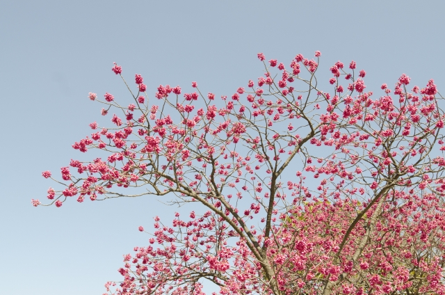 寒緋桜(カンヒザクラ)の開花時期、名所・鑑賞スポットは?