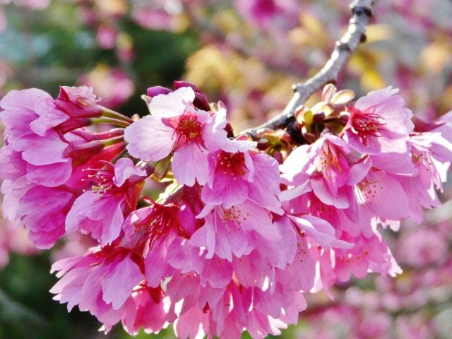 寒緋桜の花言葉,寒緋桜の開花時期,寒緋桜の名所